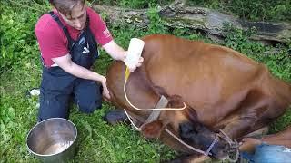 Treating milk fever in a cow